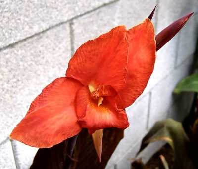 Canna 'Australia' is sparkly red-orange with a few streaks of yellow.