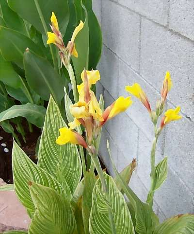 Canna 'Bangkok' has the brightest yellow buds.