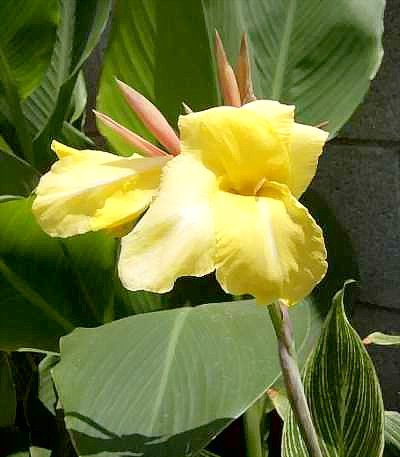 Canna 'Bangkok' has yellow flowers with a white stripe down the center of the petals.