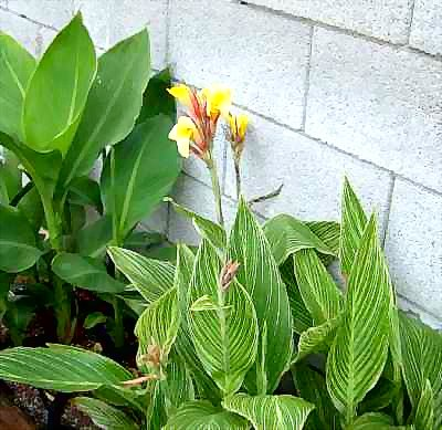 Canna 'Bangkok' has orange buds and yellow flowers