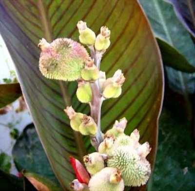 Seed pods of Canna 'Dawn Pink'