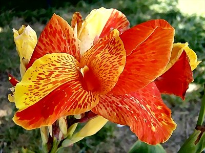 Canna 'Cleopatra' with petal divided - half red and half yellow