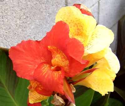 Canna 'Cleopatra' with a lovely mutant red flower.