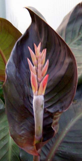 Canna 'Dawn Pink' is one of the first with buds.