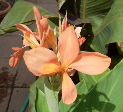 Canna 'Jimmie Jill' is a seedling of C. 'Ermine'