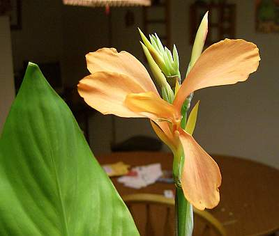 This canna seedling has spidery orange flowers.