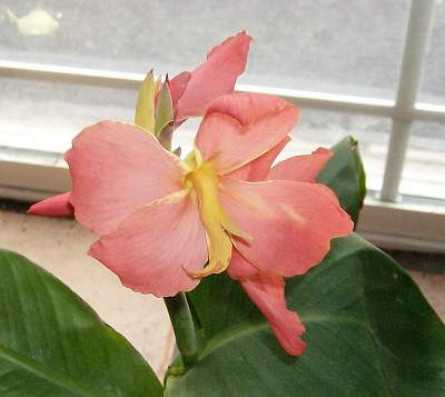 This darling pink canna is blooming in the house.