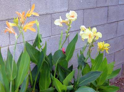 Left to right:  Grackleflap, Edna Tulip, yellow seedling
