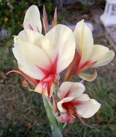 Cream with red center - a seedling of Thai Princess
