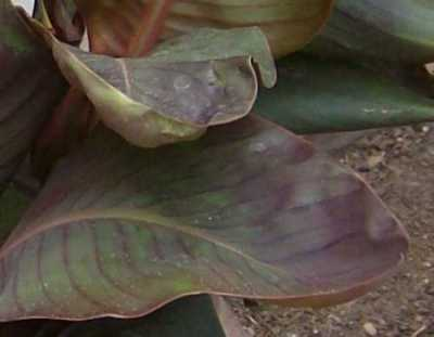 Canna 'Dawn Pink' has cupped or spooned leaf tips