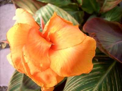 Tropicanna has large orange flowers.