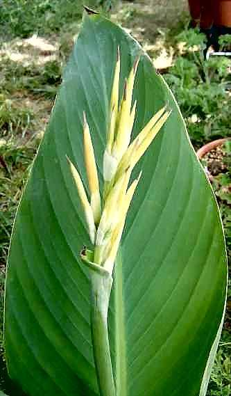 Leaf and buds of Canna 'Yellow Futurity'