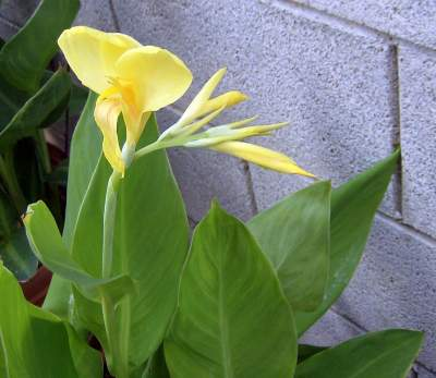 This canna is a seedling of Orange Punch.