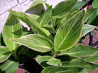 Vigorous striped foliage of unknown canna.